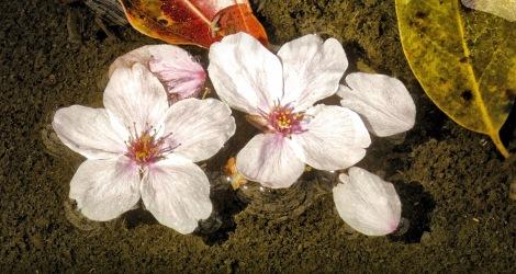 Sakura1 2