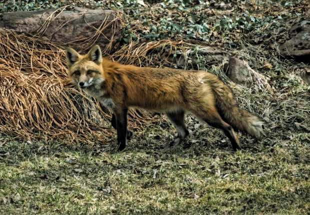 Kitsune - fox Veronica Erotica